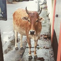 Pattalam cow
